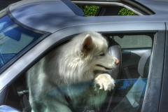 Hot Day Hot Dog (swong95765) Tags: hot dog canine animal pet confined car window hairy