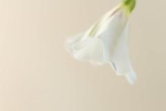 Convovulus Flower (SKAC32) Tags: highkey white convovulus bindweed canon100mmf28macro macromondays flower weed
