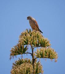 Kestrel seen at Cala en Bosch, Menorca (Matt C68) Tags: kestrel bird spain menorca minorca cala en bosch balearic island tree falco tinnunculus falcon birdofprey