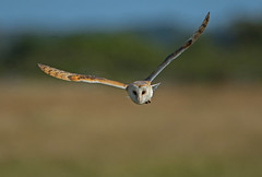Barn owl - Keeping an eye on you (Ann and Chris) Tags: avian amazing awesome eyes flying gorgeous gliding hunting hunt hovering incredible norfolk owl barn barnowl nature outdoors stunning unusual wildlife wings