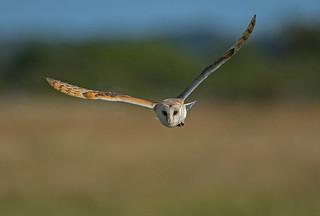Barn owl - Keeping an eye on you