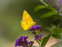 Nature always wears the colors of the spirit... (knoxnc) Tags: butterflybush bokeh nikon cabbagemoth nature sunlight leaves bush d7200 closeup specanimal legacy alittlebeauty coth5 specanimalphotooftheday ngc npc fantasticnature