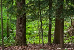 Michigan Forest (mswan777) Tags: tree trunk pine branch hiking trail leaf wood outdoor nature michigan stevensville needle scenic quiet peaceful nikon d5100 landscape sigma 70300mm fern flora plant green