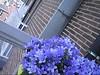 CLIP9234-040 (Rumskedi) Tags: monde世界 europa europe欧洲 belgië belgique belgien balcon campanule fauxbourdon