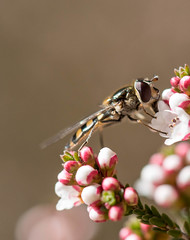 Sipping the nectar (Matt OZW) Tags: bees victoria boxironbark australia insect spring