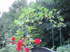 Zierkürbisse sind erntereif (Sophia-Fatima) Tags: mygarden meingarten naturgarten gardening gemüsegarten küchengarten veggarden zierkürbisse dahlien