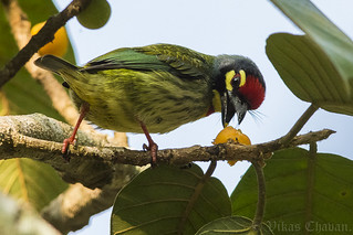 Coppersmith Barbet.