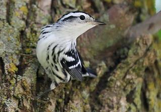 black and white warbler at Vernon Springs IA 854A2153