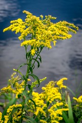 Goldenrod bouquet (FotoFloridian) Tags: nature yellow flower plant summer outdoors canola blossom ruralscene blue sky landscape greencolor nh newhampshire pollen sony alpha a6000