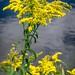 Goldenrod+bouquet