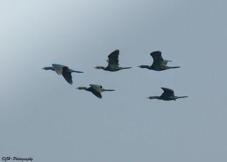 Group of Cormorant