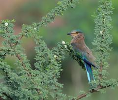 Indian Roller at ABP Gurgaon (Nikondxfx (instagram)) Tags: aravallibiodiversitypark 200500 2017 aravalli august birdphotography d750 delhi gurgaon gurugram haryana nikkor nikon photowalk biodiversity morning park sunday indianroller coraciasbenghalensis