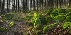 Die Eifel - Bilder einer Landschaft (memories-in-motion) Tags: eifel basalt moos buchen wald travel hiking forest rocks moss light morning breath air green nature outdoor vulkaneifel eifelsteig vulkaneifelkreis leica leicaq