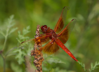 Flame Skimmer ...Red dragonfly Madrona Marsh Torrance California 144