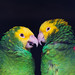 Two+colorful+parrots+in+friendly+talk%2C+Amazona+ochrocephala+oratrix%2C+portrait.