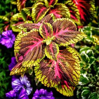Stratford Ontario ~ Canada ~  Flower ~ Shakespearean  Garden Botanical  ~ Heritage