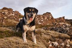 2july_Venus-Patterson-Sunset_085 (Stefán H. Kristinsson) Tags: venus dog sunset reykjanes iceland nikond800 tamron2875mm