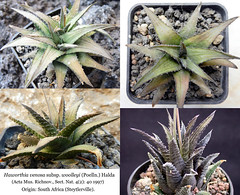Haworthia venosa subsp. woolleyi (collage)