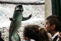 singerie (nicouze) Tags: singe monkey zoo kid enfant child play jeu nicouze france