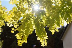 Anglų lietuvių žodynas. Žodis acacia reiškia n akacija lietuviškai.