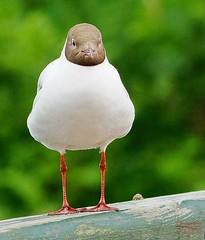 Posing bird :-) (Jurek.P) Tags: birds bird gull pose masuria mazury wildnature poland polska jurekp sonya77