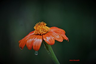 Mexican sunflower in the rain