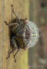 Cicada 5 (strjustin) Tags: cicada bug beautiful