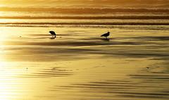 Sunup  IMGP7072-001 (LarryJ47) Tags: pentaxk5ii pentax50135mm sunrise ocean beach sand ridges repetition gulls seagulls water waves ripples shadow light