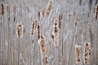 frozen pussywillows