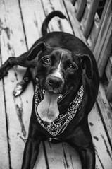 Happy Boy (Off The Beaten Path Photography) Tags: jack pit pitbull mix pitbullmix mutt beautiful dog dogs k9 canine animal