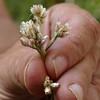 Pseudognaphalium ramosissimum (Gnaphalium r.) PINK EVERLASTING Bear Creek 2017-09-12 at 10-05-57 (openspacer) Tags: asteraceae everlasting jasperridgebiologicalpreserve jbp pseudognaphalium jrbp
