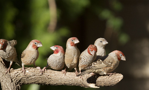 Red-headed Finches, family, _9207