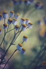 sadness (christian mu) Tags: flowers bokeh nature summer germany münster muenster botanicalgarden botanischergarten schlossgarten christianmu sonya7ii sony 9028g 90mm 9028 macro