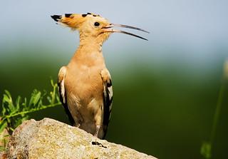 Abubilla, Bubela común, Hoopoe, Huppe fasciée, Upupa, Upupa epops
