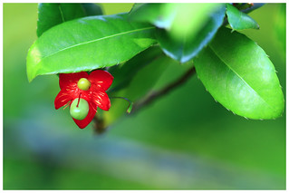 桂葉黃梅  (米老鼠樹)   Ochna Integerrima(Mickey Mouse Plant)