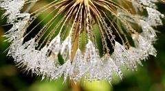 Morning dew. (anneescott) Tags: macro dandelion plant weed glistening bokeh seeds