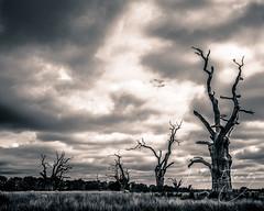 Mundon Oaks (Dave Denby) Tags: mundon maldon oaks petrified dead decay decayed field