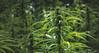 Wiet4Work (johndifool) Tags: hanf cannabis hemp wiet flora 7dwf