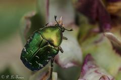 Le chevalier vert 02 (letexierpatrick) Tags: insecte insectes nature nikon nikond7000 animal macro jardin extérieur explore sigma sigma105mm vert france couleur couleurs colors