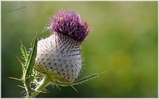 Flower in the nature/ Virág a természetben