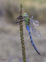 Erección (gatomotero) Tags: olympusomdem1 mzuiko60 stf8flash dragonfly nature libelula anax earlymorning odonatos aliste rabanales zamora