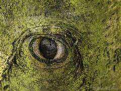 Nature's eye (cstevens2) Tags: belgium belgië grensparkdezoom kalmthout kalmthoutseheide naturereserve natuurreservaat nationalpark tree eye treetrunk