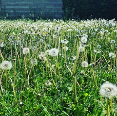 make a wish (plantoverlords) Tags: seeds green magic wish outdoors plant nature dandelion