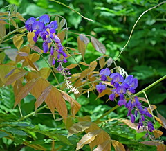 Wisteria dreams (mariposa lily) Tags: flower flowers bloom blooms blossom blossoms wisteria wisteriavine wisteriavines garden purple vine vines climber climbers peace peaceful greenery