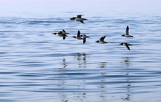 Guillemots and razorbills in flight