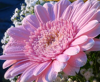 Gerbera in the spring sun - #02