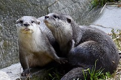 Pair of Asian short-clawed otters (Dave_S.) Tags: asian short clawed otter pair couple two mammal cute furry buckfastleigh devon england uk gb english british great britain united kingdom nikon d7200 otters ottersandbutterflies sanctuary rescue centre animal