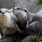 Pair of Asian short-clawed otters thumbnail