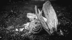 Rest In Pieces (AxelBergeron) Tags: butterflies shell snail bug bugs butterfly papillon insecte insect insects dead death mort morbid deceased macro macrophotography closeup sel30m35 sonya5000 a5000 bw bwphotography blackandwhite blacknwhite blackwhite monochromatic monochrome noiretblanc