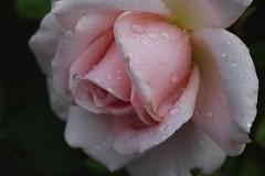 Rose (LuckyMeyer) Tags: rose flower fleur blume blüte makro garden summer sommer pastell rosa